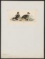 Thalassornis leuconota - 1820-1863 - Print - Iconographia Zoologica - Special Collections University of Amsterdam - UBA01 IZ17700161.tif