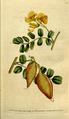 The Botanical Magazine, Plate 81 (Volume 3, 1790).png