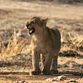 The Feisty Lion Cub 01.jpg