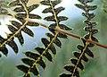 Thelypteris palustris kz04.jpg