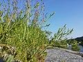 Thesium ramosum sl27.jpg