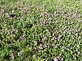 Thymus praecox subsp. praecox sl18.jpg