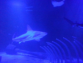 Acuario Inbursa - Shark in the oceanarium