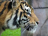 Tiger Australia Zoo March 2006.JPG