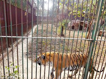 Tiger in Lucknow Zoo.jpg