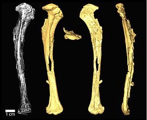 Tingmiatornis - Photograph (left) and CT scans of the holotype humerus