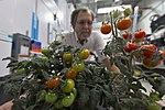 Tomato plants in the Veggie Passive Orbital Nutrient Delivery System (PONDS).jpg
