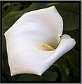 Toowoomba Flowers 019 (9659222174).jpg