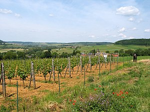 Belgian wine - Wine production near Torgny