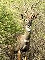 Tragelaphus imberbis of Ethiopia .jpg
