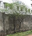 Tree, gum tree.jpg