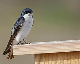 Tree Swallow (Tachycineta bicolor)4.jpg