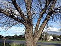 Tree in Worcester, ZA 5.jpg