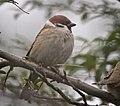 Tree sparrow (49463013061).jpg