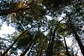 Trees in Swallow Falls State Park - panoramio.jpg