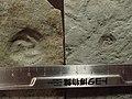 Tribrachidium heraldicum 12 & 24mm トリブラキディウム・ヘラルディキウム.jpg