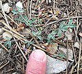 Trifolium gymnocarpon var plummerae 1.jpg
