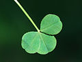 Trifolium repens Vincennes2.jpg