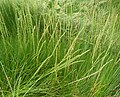 Triglochin maritimum plant (25).jpg