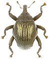 Trigonopterus inflatus holotype - ZooKeys-280-001-g038.jpg