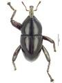 Trigonopterus rostralis (Lea), lectotype.tif