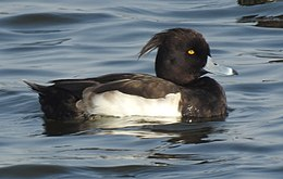 Tufted Duck Aythya fuligula Male by Dr. Raju Kasambe DSCN9795 (17).jpg