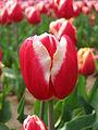 Tulip - floriade canberra02.jpg