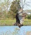 Turkey Vulture (Cathartes aura) (33717964334).jpg