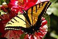 Two-tailed Swallowtail - Papilio multicaudata, Albuquerque, New Mexico.jpg