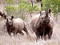Two black rhinos.jpg