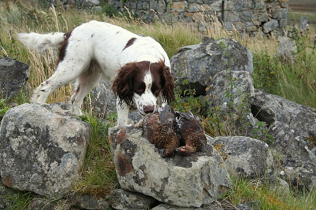 """Two grouse """"picked"""" after the previous day's shoot. - geograph.org.uk - 547403"""