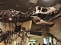 Tyrannosaurus Stan National Museum of Nature and Science.jpg