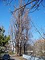 U Rokytky, strom u domu č. o. 5 (01).jpg
