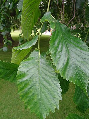 Ulmus 'Wentworthii Pendula' - Image: Ulmus 'Wentworthii' leaf, Holyrood