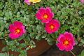 Unidentified Portulaca flowering in a garden 5.jpg