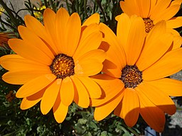 Unidientified Orange Flowers