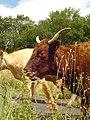 Vache Salers - 2.jpg