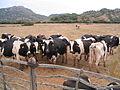 Vaques al Camí d'en Kane.JPG