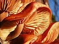 Velvet Shank (Flammulina velutipes) (8299511055).jpg