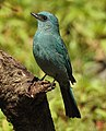 Verditer Flycatcher Eumyias thalassinus by Dr. Raju Kasambe DSCN2658 (1).jpg