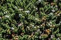 Veronica buchananii in Christchurch Botanic Gardens 01.jpg