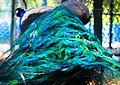 Vibrant peafowl.jpg