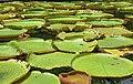 Victoria cruziana pond at Sir Seewoosagur Ramgoolam Botanical Garden, March 2020 (7).jpg