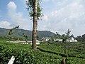 Views around Munnar, Kerala (98).jpg