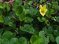 Viola sempervirens.jpg