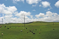 Cattle pastures just outside of Waimea
