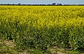 Warren NSW field of Canola-1 (21381771396).jpg