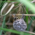 Wasp and nest (34651594690).jpg