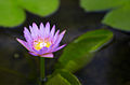 Water Lily (3949764141).jpg