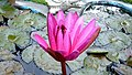 Water lily (8725103261).jpg